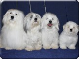 CHS Coton Angels from Dolce